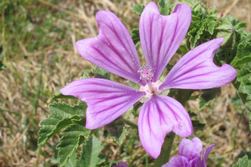 Malva neglecta L