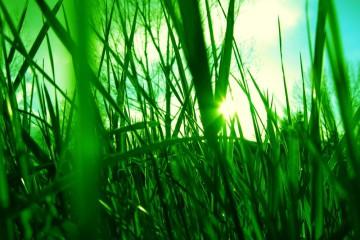kerti fű
