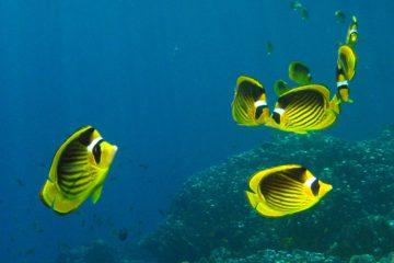 tengeri halak